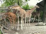 Copenhagen Zoo Giraffes